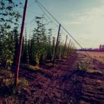 Second healthy hop harvest expected at Hogs Back Brewery